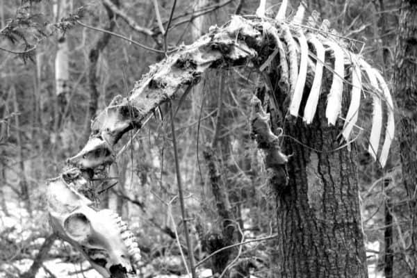 Saugie skeleton